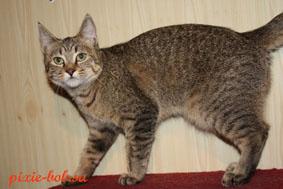 Фото котов с коротким хвостом